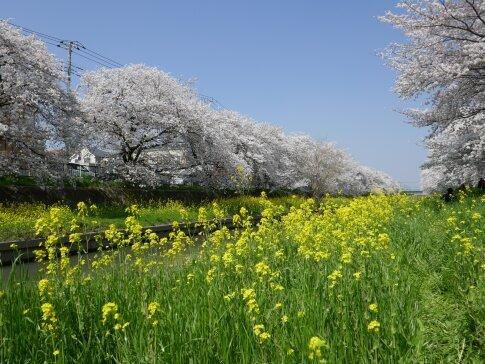 新河岸川沿いの桜4.jpg