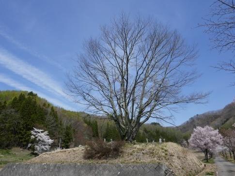 明川さくらの里 豆桜.jpg