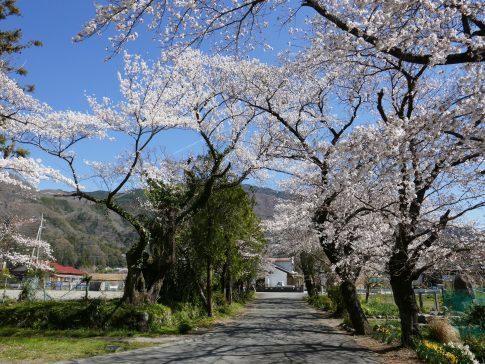 本遠寺 桜2.jpg