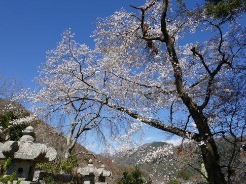 本遠寺 桜3.jpg