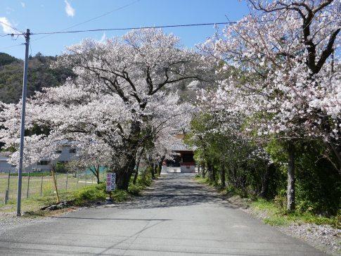 本遠寺 桜1.jpg