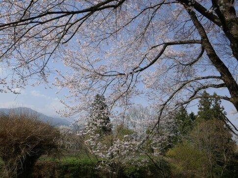 松岡城址 桜4.jpg