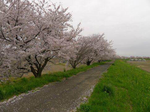 梅ノ木桜堤2.jpg