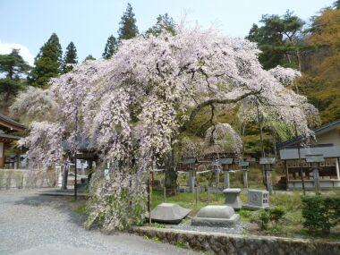 楽翁桜2011.jpg