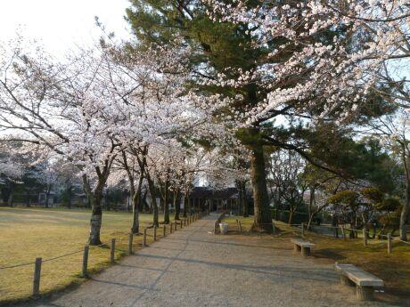 水前寺成趣園 桜5.jpg