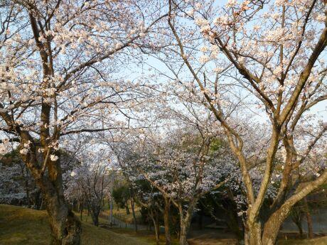 水前寺成趣園 桜6.jpg