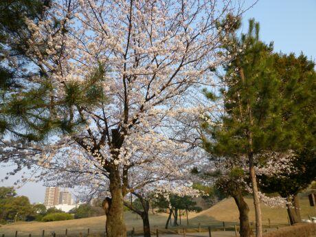 水前寺成趣園 桜1.jpg