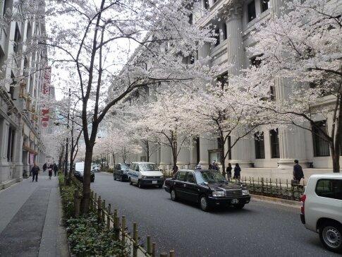 江戸桜通りの桜2.jpg