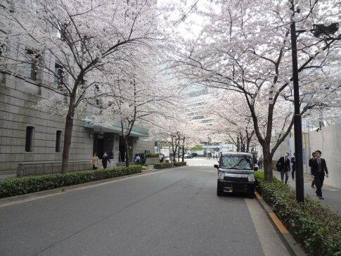 江戸桜通りの桜4.jpg