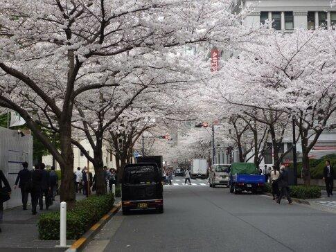 江戸桜通りの桜5.jpg