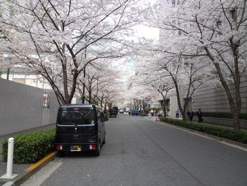 江戸桜通りの桜6.jpg