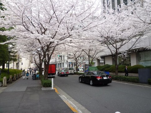江戸桜通りの桜7.jpg