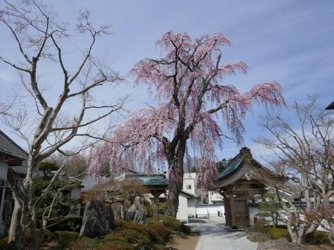 法華寺の桜2.jpg