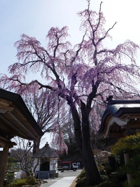 法華寺の桜4.jpg