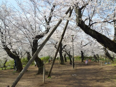 洗足池の桜4.jpg