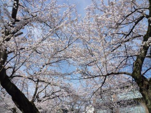 洗足池の桜5.jpg