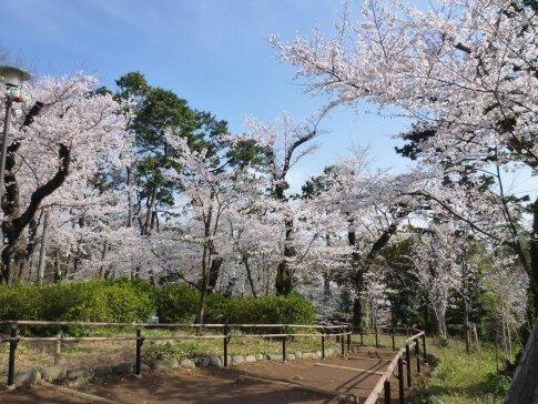 洗足池の桜6.jpg