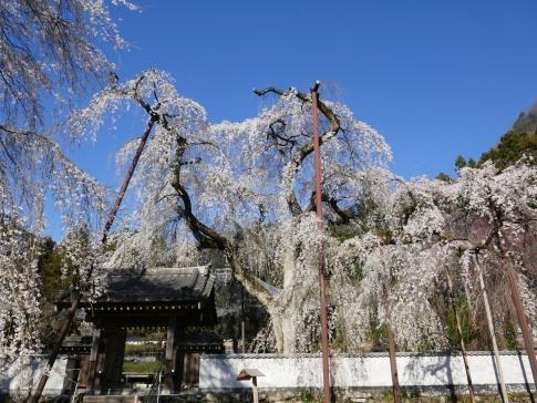 清雲寺の桜5.jpg