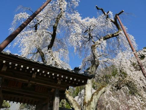 清雲寺の桜6.jpg