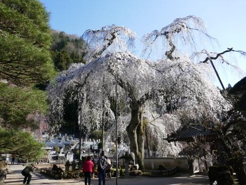 清雲寺の桜7.jpg