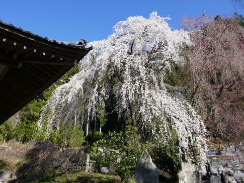 清雲寺の桜8.jpg