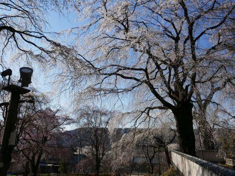 清雲寺の桜9a.jpg