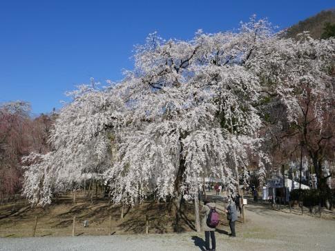 清雲寺の桜9c.jpg