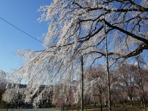 清雲寺の桜9d.jpg
