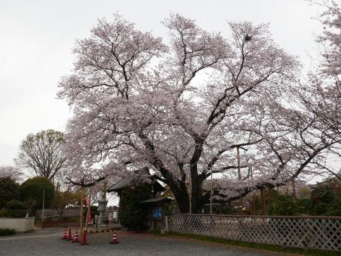 満福寺のソメイヨシノ.jpg