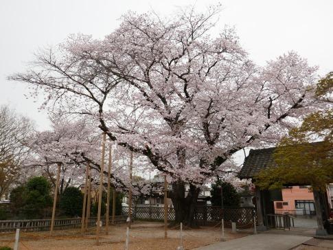 満福寺のソメイヨシノ2.jpg