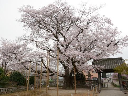 満福寺のソメイヨシノ3.jpg
