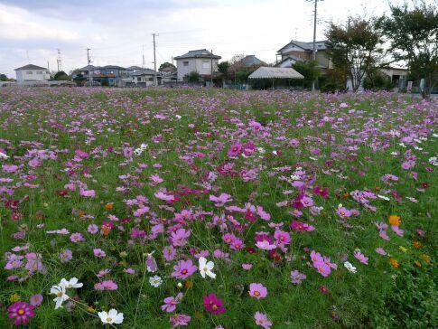 白岡 柴山のコスモス4.jpg