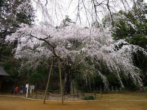 福星寺の親子桜.jpg