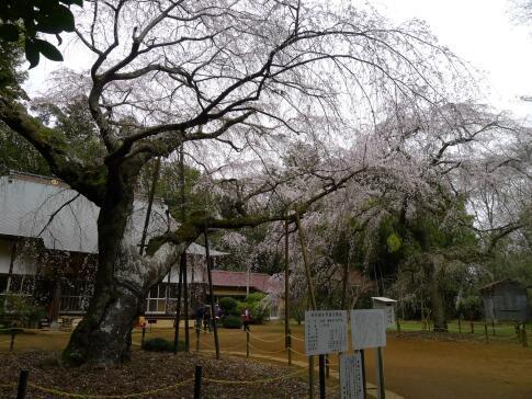 福星寺の親子桜4.jpg