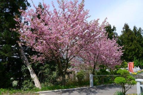 荒砥城趾 桜1.jpg