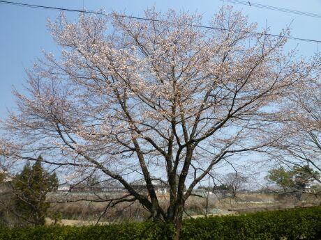 菊池神社 桜3.jpg