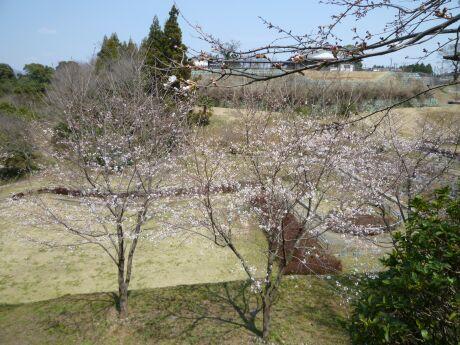 菊池神社 桜4.jpg
