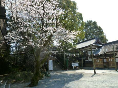 菊池神社 桜1.jpg