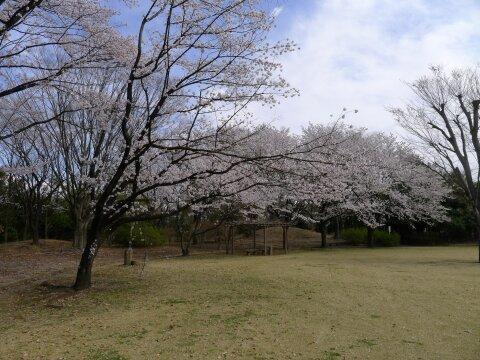 赤城見台公園の桜1.jpg