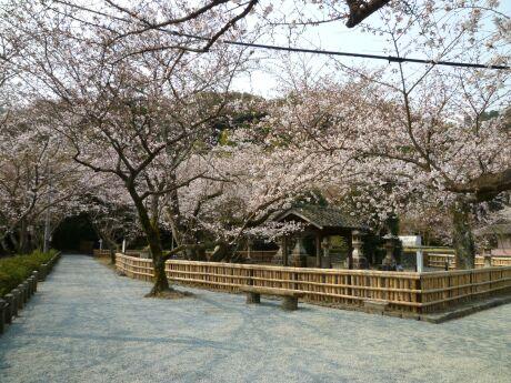 轟御殿跡の桜2.jpg