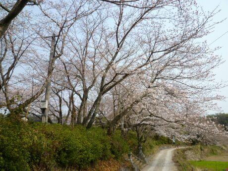 轟御殿跡の桜1.jpg
