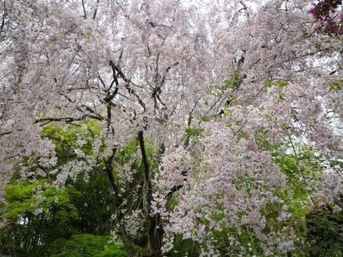 退蔵院 桜3.jpg