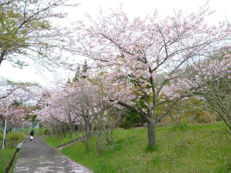 遠刈田公園の桜3.jpg