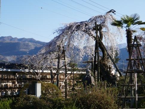 金仙寺の枝垂れ桜2.jpg