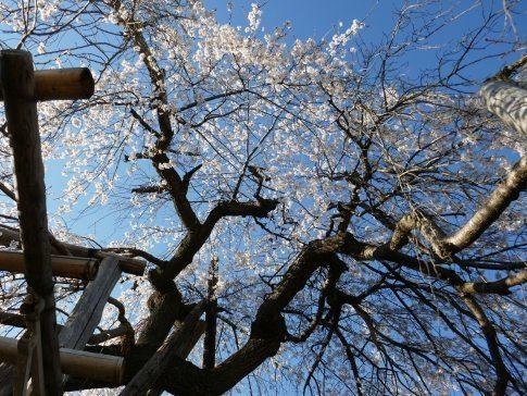 金仙寺の枝垂れ桜4.jpg