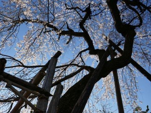 金仙寺の枝垂れ桜5.jpg