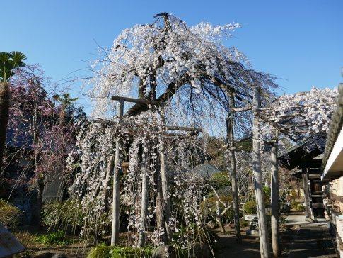 金仙寺の枝垂れ桜6.jpg