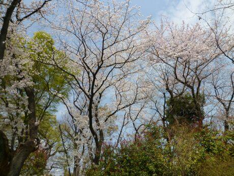 鍋島松濤公園の桜2.jpg