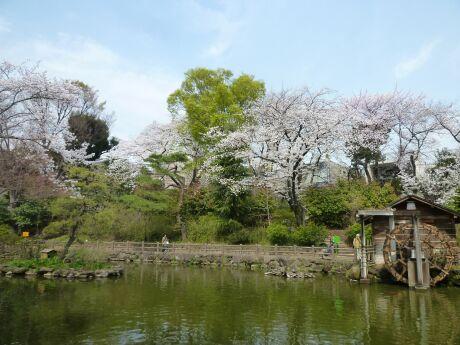 鍋島松濤公園の桜5.jpg