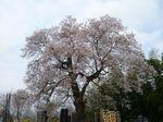 阿弥陀堂の桜2011.jpg